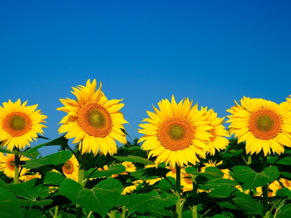 ひまわり 向日葵 3 無料写真素材ならフリー素材タウン