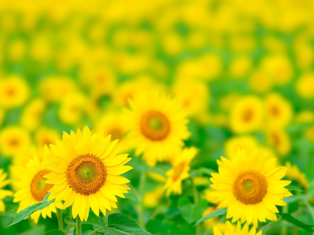 ひまわり 向日葵 1 無料写真素材ならフリー素材タウン
