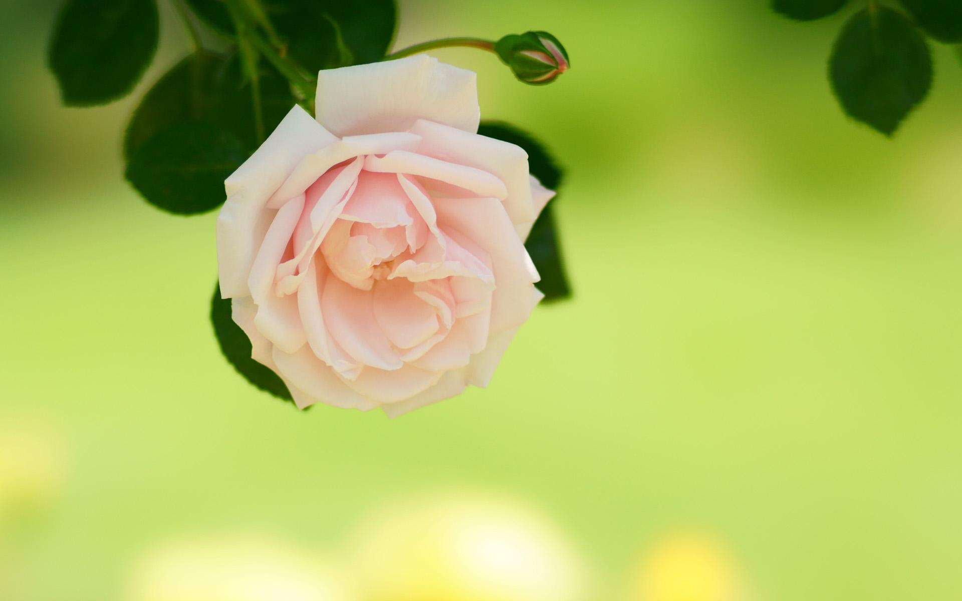 バラ(薔薇)1920 215 1200|無料写真素材ならフリー素材タウン